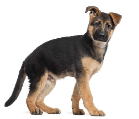 German Shepherd puppy, 3 months old, standing in front of white background photo