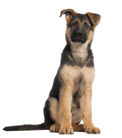 German Shepherd puppy, 3 months old, sitting in front of white background photo