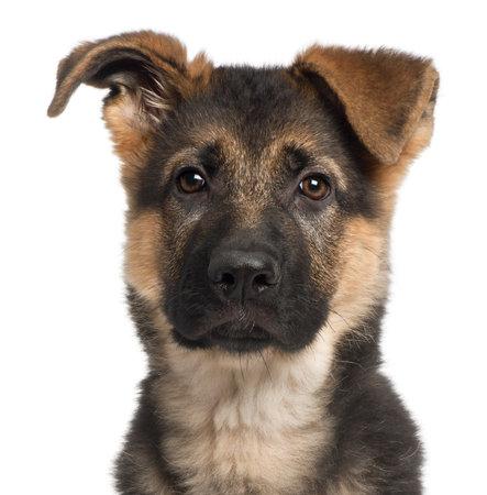 pastor de ovejas: Primer plano de cachorro de pastor alem�n, 3 meses de edad, de fondo blanco