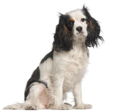 Cavalier King Charles Spaniel, 16 months old, sitting in front of white background photo
