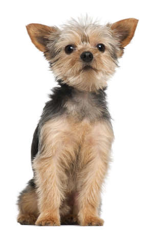 Yorkshire Terrier, 3 years old, sitting in front of white background Stock Photo