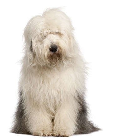 Old English Sheepdog, 2 and a half years old, sitting in front of white background Stock Photo - 9191182