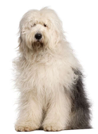 sheepdog: Old English Sheepdog, 2 and a half years old, sitting in front of white background Stock Photo