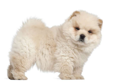 chow: Chow chow puppy, 11 weeks old, standing in front of white background