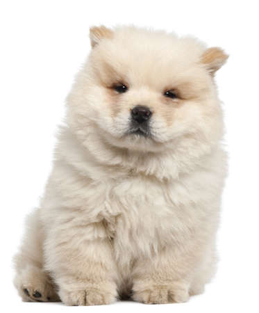chow: Chow chow puppy, 11 weeks old, sitting in front of white background