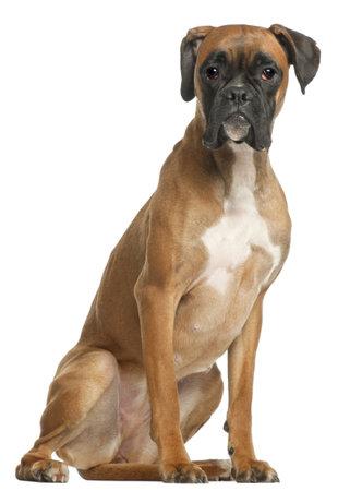perro boxer: Boxer, 12 meses de edad, sentado en frente de fondo blanco