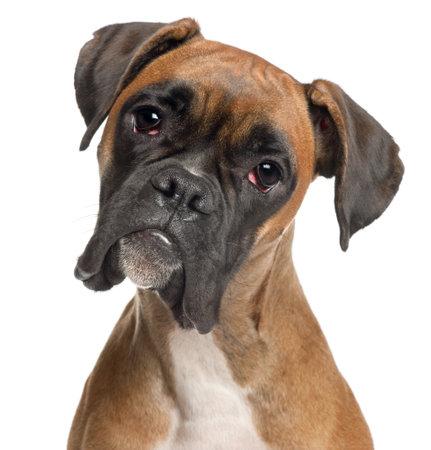 perro boxer: Primer plano de boxeador, 12 meses de edad, de fondo blanco Foto de archivo