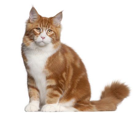 maine coon: Maine Coon Katze, 6 Monate alt, sitzt vor wei�em Hintergrund Lizenzfreie Bilder