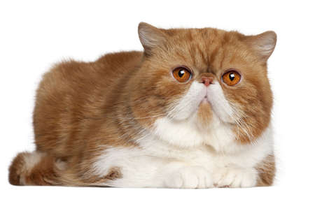 Exotic Shorthair cat, 2 and a half years old, lying in front of white background Stock Photo