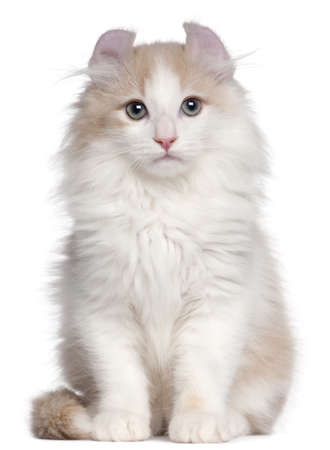 American Curl kitten, 3 months old, sitting in front of white background Stock Photo - 9191157