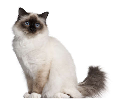 birman kitten: Birman cat, 11 months old, sitting in front of white background