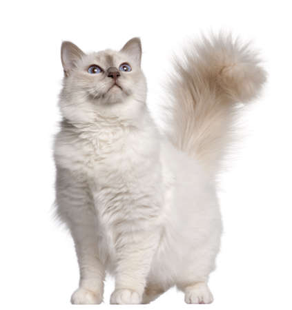birman kitten: Birman cat, 11 months old, standing in front of white background