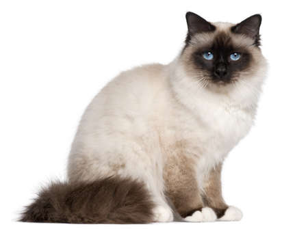 birman kitten: Birman cat, 1 year old, sitting in front of white background Stock Photo