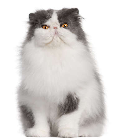 persian cat: Persian cat, 9 years old, sitting in front of white background