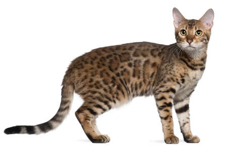 Бенгалия: Bengal cat, 7 months old, standing in front of white background