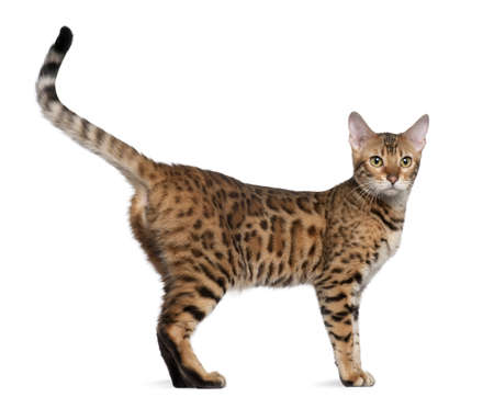 Bengal cat, 7 months old, standing in front of white background photo