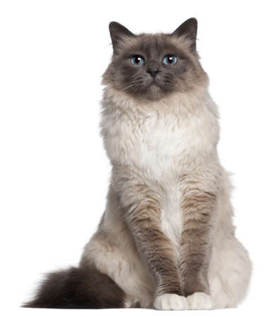 birman kitten: Birman cat, 2 and a half years old, sitting in front of white background