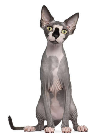 Sphynx cat, 8 months old, sitting in front of white background photo