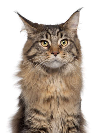 coon: Close-up of Maine Coon cat, 7 months old, in front of white background