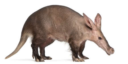 burrowing: Aardvark, Orycteropus, 16 years old, in front of white background