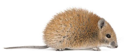 Golden Spiny Mouse, Acomys russatus, 1 year old, in front of white background photo