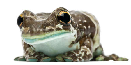 Amazon Milk Frog, Trachycephalus resinifictrix, in front of white background photo