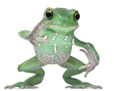 Waxy Monkey Leaf Frog, Phyllomedusa sauvagii, hopping in front of white background photo