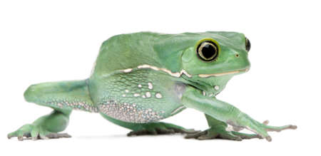waxy: Waxy Monkey Leaf Frog, Phyllomedusa sauvagii, in front of white background