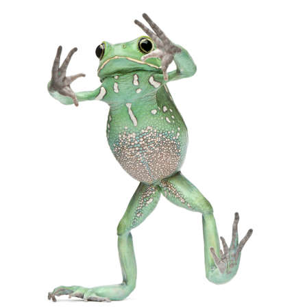 waxy: Waxy Monkey Leaf Frog, Phyllomedusa sauvagii, standing in front of white background Stock Photo