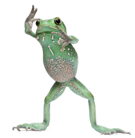 Waxy Monkey Leaf Frog, Phyllomedusa sauvagii, standing in front of white background photo