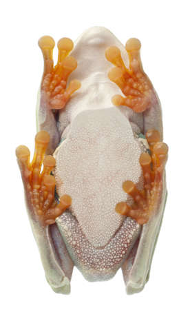 treefrog: Low angle view of Red-eyed Treefrog, Agalychnis callidryas,  in cryptic water conservation posture