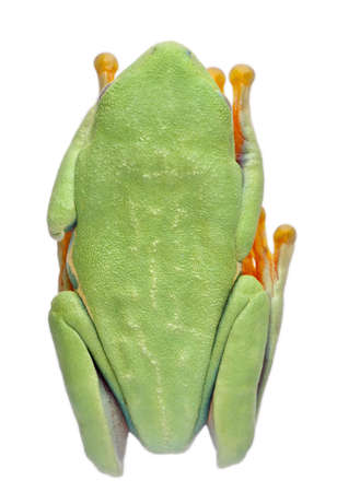 cryptic: High angle view of Red-eyed Treefrog, Agalychnis callidryas, in cryptic water conservation posture