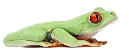 callidryas: Red-eyed Treefrog, Agalychnis callidryas, sitting in front of white background Stock Photo