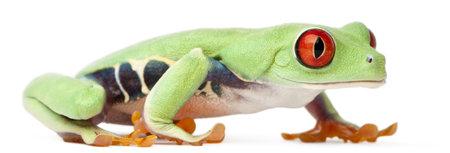 agalychnis: Red-eyed Treefrog, Agalychnis callidryas, walking in front of white background Stock Photo