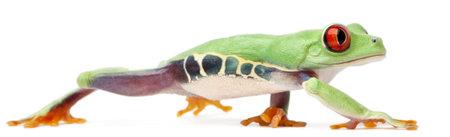 callidryas: Red-eyed Treefrog, Agalychnis callidryas, walking in front of white background Stock Photo