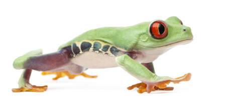 treefrog: Red-eyed Treefrog, Agalychnis callidryas, walking in front of white background Stock Photo