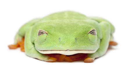 agalychnis: Red-eyed Treefrog, Agalychnis callidryas, with eyes closed in front of white background Stock Photo