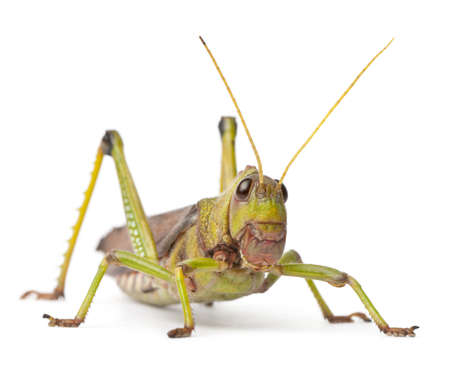 Giant Grasshopper, Tropidacris collaris, in front of white background Stock Photo