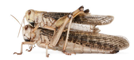 Two migratory locust, Locusta migratoria, in front of white background Stock Photo - 9563435