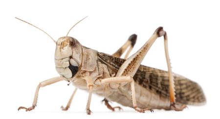 migratory: Migratory locust, Locusta migratoria, in front of white background Stock Photo