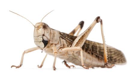 Migratory locust, Locusta migratoria, in front of white background Stockfoto