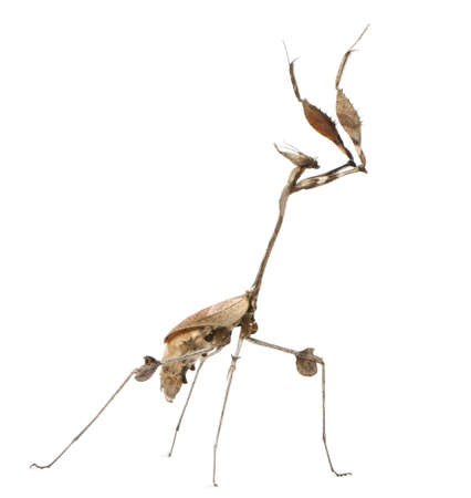 wandering: Wandering Violin Mantis, Gongylus gongylodes, in front of white background