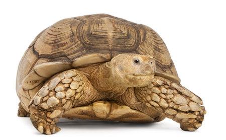 tortuga: �frica impulsado tortuga, Geochelone sulcata, de fondo blanco