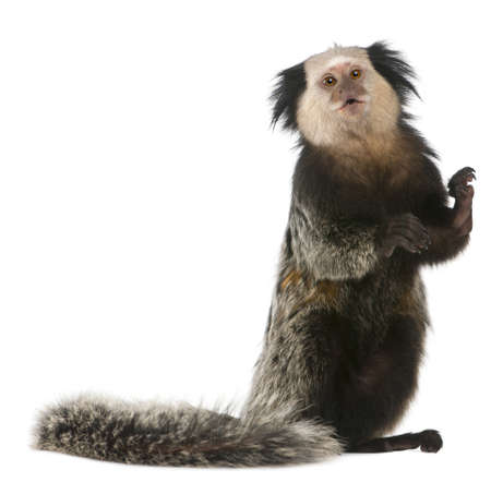 marmoset: White-headed Marmoset, Callithrix geoffroyi, standing in front of white background