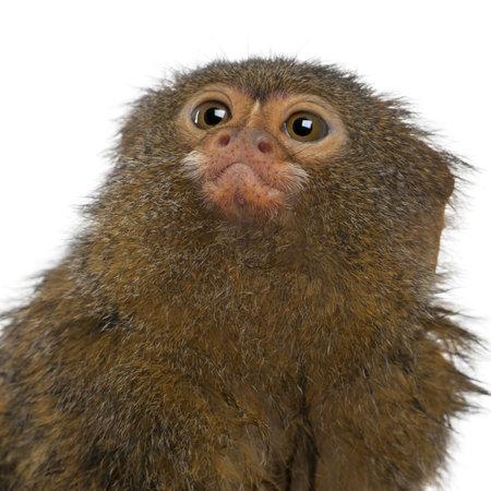 pygmy: Close-up of Pygmy Marmoset or Dwarf Monkey, Cebuella pygmaea, in front of white background
