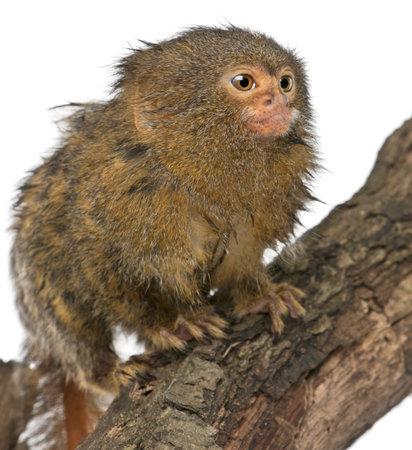 pygmy: Pygmy Marmoset or Dwarf Monkey, Cebuella pygmaea, on log in front of white background