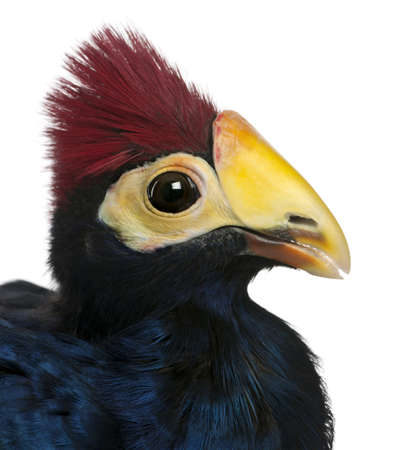 Close-up of Violet Turaco, Musophaga violacea, in front of white background Stock Photo - 9563918