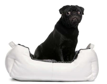 Black pug sitting in dog bed in front of white background photo