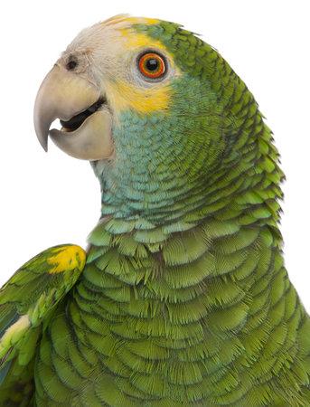loros verdes: Primer plano de hombros amarillo Amazonas, Amazona barbadensis, de fondo blanco