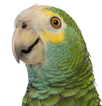 parrot: Close-up van gele schouders Amazone, Amazona barbadensis, voor witte achtergrond Stockfoto
